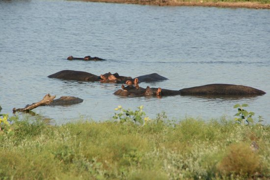 andBeyond Ngala Safari Lodge: Hippos