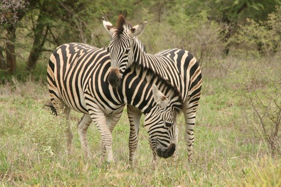 andBeyond Ngala Safari Lodge: Zebra!