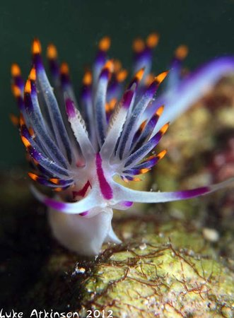 Hamata and Berenice, Egypt: Flabellina on the Housereef