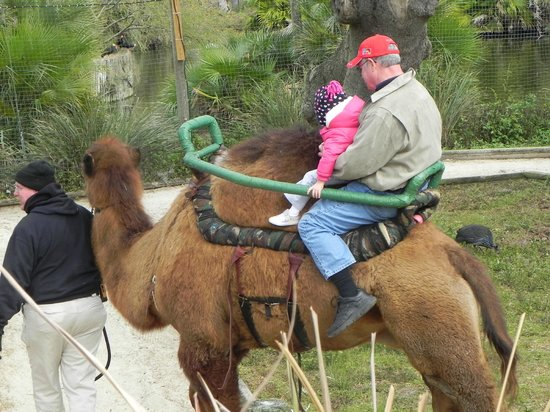 Tampa's Lowry Park Zoo: Opa & the Grandbaby riding a camel!