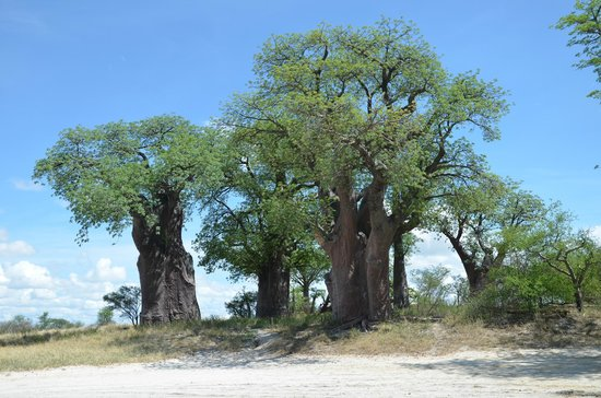 Nxai Pan National Park, بوتسوانا: Baines Baobabs 