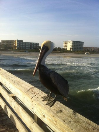 La Quinta Inn & Suites Cocoa Beach Oceanfront: View of the hotel from the Cocoa Beach pier and one of many pelicans lining the pier railing.