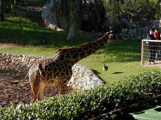 Safari Park: A giraffe.