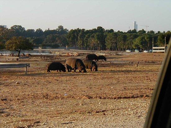Safari Park: Hippos.
