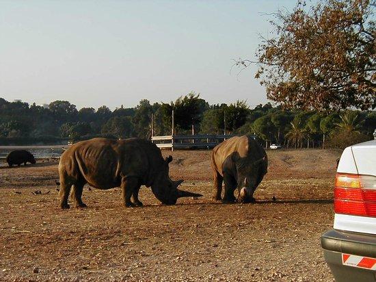 Safari Park: Rhinos.