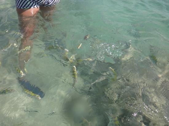 Grand Sirenis Riviera Maya Resort & Spa: Variety of fish in shallow watter at Sirenis Mayan Beach