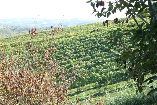 Agriturismo Podere dellAnselmo: Wine grapes on the vine as far as the eye can see!