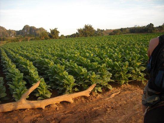 Villa Los Pandaderos: plantaciones de tabaco