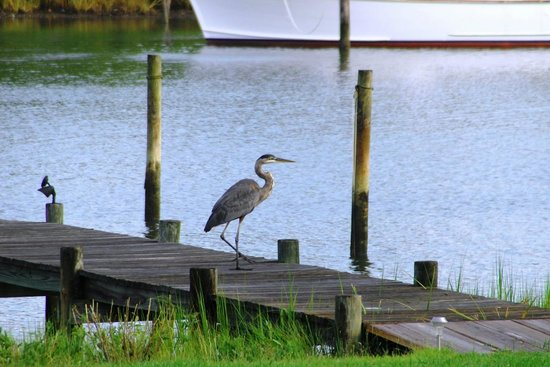 The Inn at Tabbs Creek Waterfront B&B: Blue Heron on the Dock