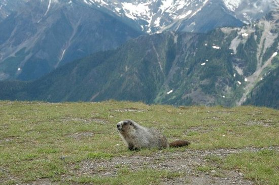 Golden, Canada: A marmot enjoying the views from Kicking Horse Mountain Resort