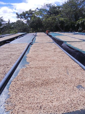 Finca Rosa Blanca Coffee Plantation & Inn: Coffee beans drying