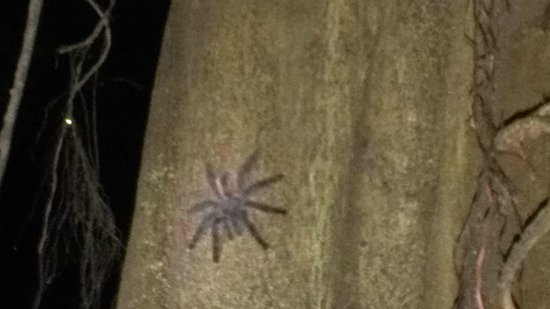 Muyuna Amazon Lodge: giant tarantula on the camping night