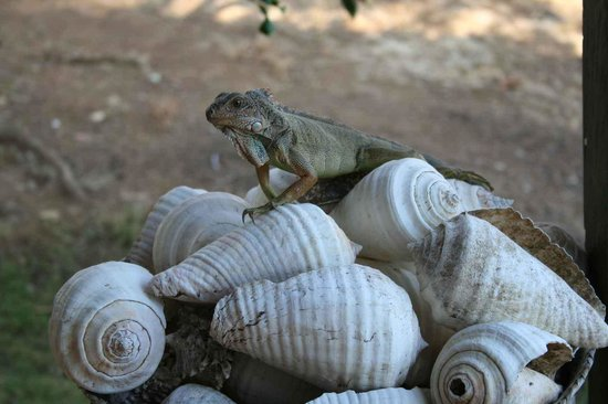 Eco Venao: Iguana