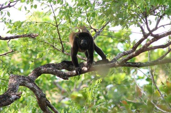 Eco Venao: Howler Monkey