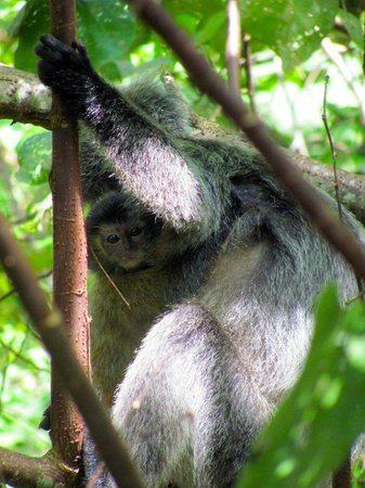 Permai Rainforest Resort: Silverleaf langur monkeys at the resort