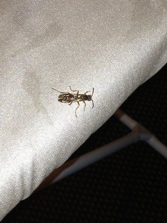 Candlewood Suites Temple: roach on ironing board