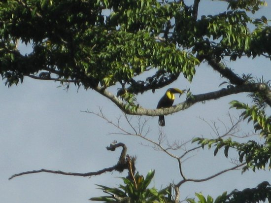 Nepenthe B&B: Toucans hanging out in the trees
