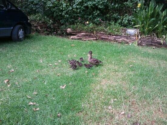 Dickson Holiday Park: duck family around the park :)