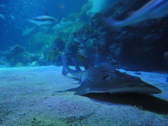 SEA LIFE Oberhausen: Nurse Shark in Sea Life