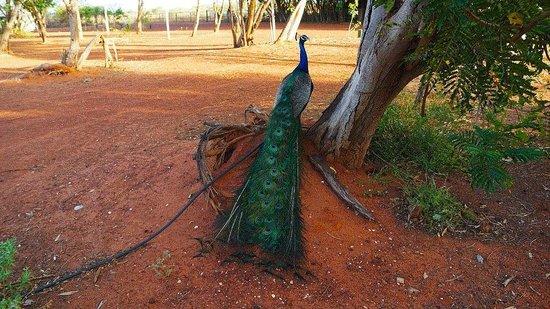 Sandfire Roadhouse and Caravan Park : peacock