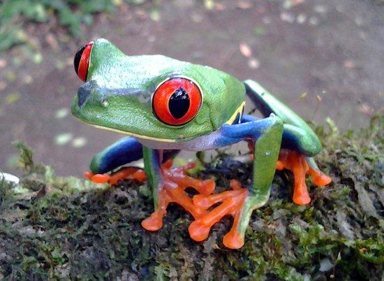 La rana occhi rossi del Costa R, uno degli anfibi della Casa delle Farfalle di Montegrotto Terme