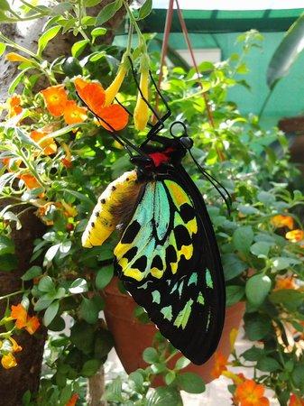 Una rara Ornithoptera Australiana, nella Casa delle Farfalle di Montegrotto Terme