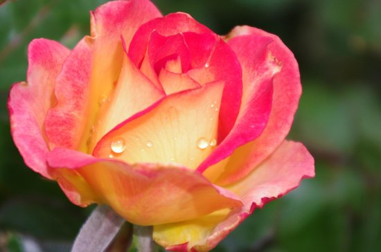 Hershey Gardens: Rose garden