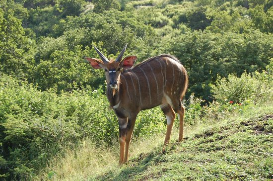 Zulu Nyala Game Lodge:                   Zulu Nyala resort