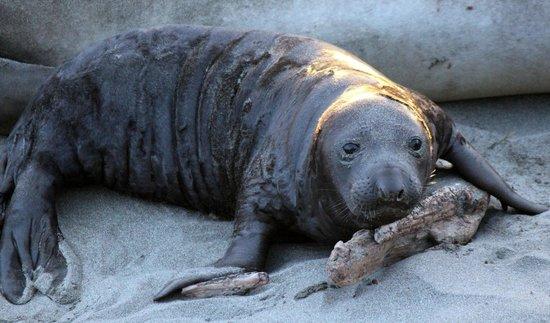 Piedras Blancas:                   Baby Elephant Seal
