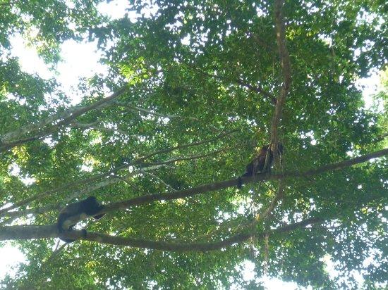 Jungle Beach Hotel at Manuel Antonio: La familia de monos aulladores vista desde la habitación