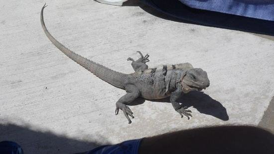 Grand Sirenis Riviera Maya Resort & Spa:                   our iguana friend :-)