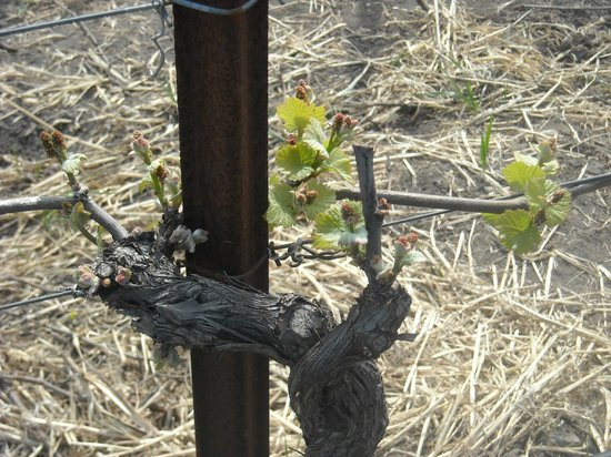 Clos Pepe Vineyards and Estate Wines: Out in the vineyard
