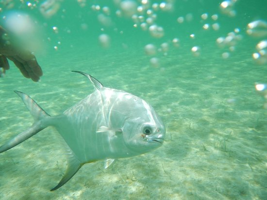 El Pescador Resort:                   Releasing a nice permit caught on a fly                 