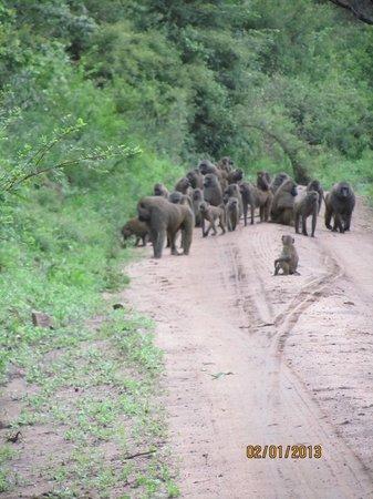 andBeyond Lake Manyara Tree Lodge :                   Baboons on the road