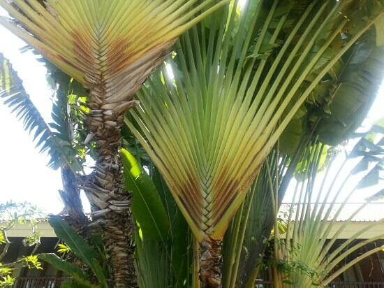 Inna Grand Bali Beach Hotel:                   пальмы