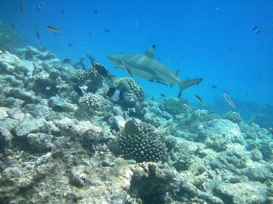 Veligandu Island Resort & Spa:                   Reef shark off beach