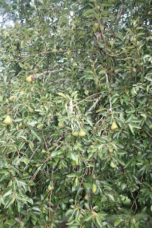 Mercury Orchard Accommodation:                   Fruitful pear tree