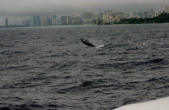 Atlantis Cruises:                                     Infant whale breach on Navatek I