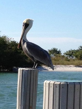 The Boat House Motel:                   Pelican from deck