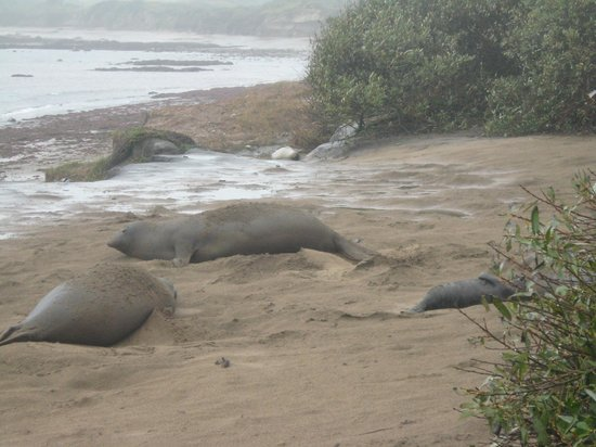 Ano Nuevo Elephant Seal Tours: the one on the right was just born few days ago