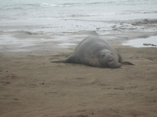 Ano Nuevo Elephant Seal Tours: they do have a trunk!