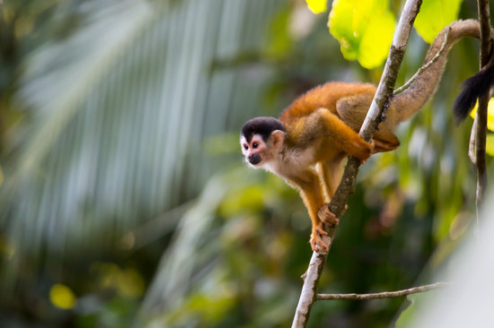 El Remanso Lodge : Squirrel monkey