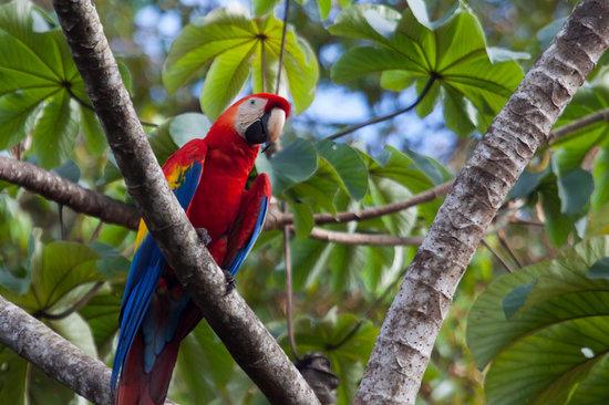 El Remanso Lodge : Scarlet Macaw