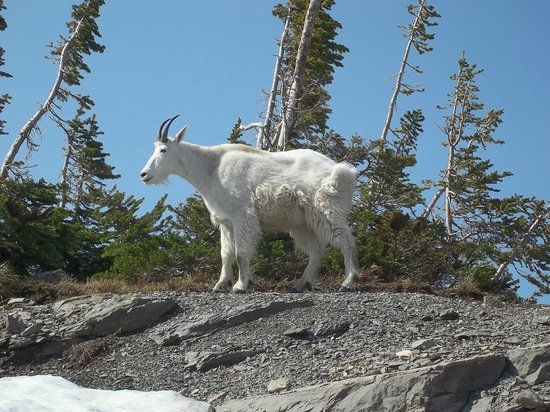 Many Glacier Hotel: My first Glacier Goat!