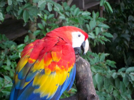 Lookout Inn Lodge:                   Scarlet macaw