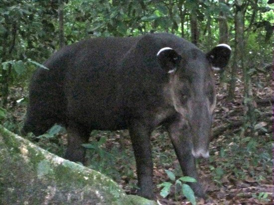 Lookout Inn Lodge:                   Tapir!