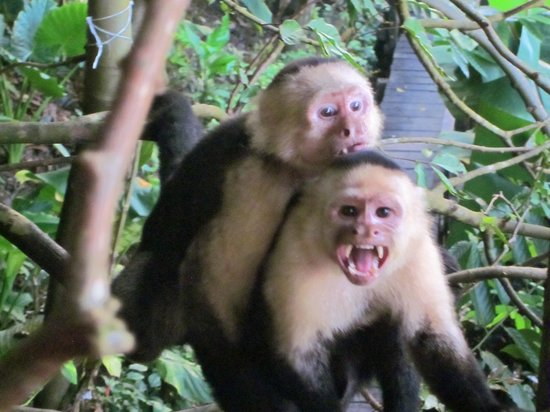 Lookout Inn Lodge:                   Monkeys!