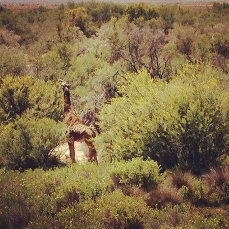Inverdoorn Game Reserve Safaris:                   Giraffe