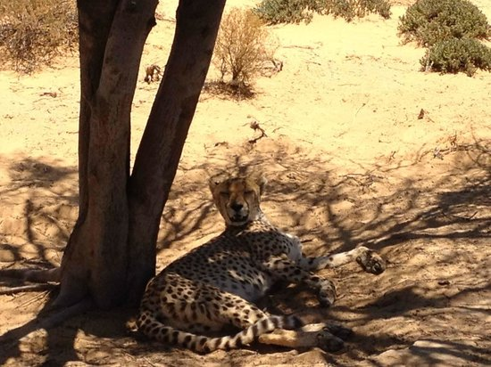 Inverdoorn Game Reserve Safaris:                   Lazy Cheetahs!