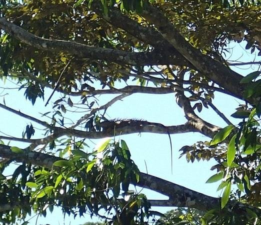Belcampo Lodge: saw this lovely iquana lounging in a tree on the riverbank
